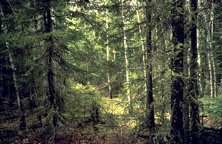 typical ground-level view of evergreen forest